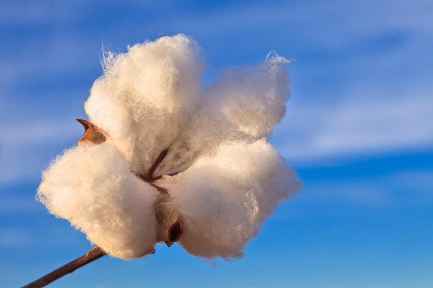 Cotton Fiber - The Short of It
