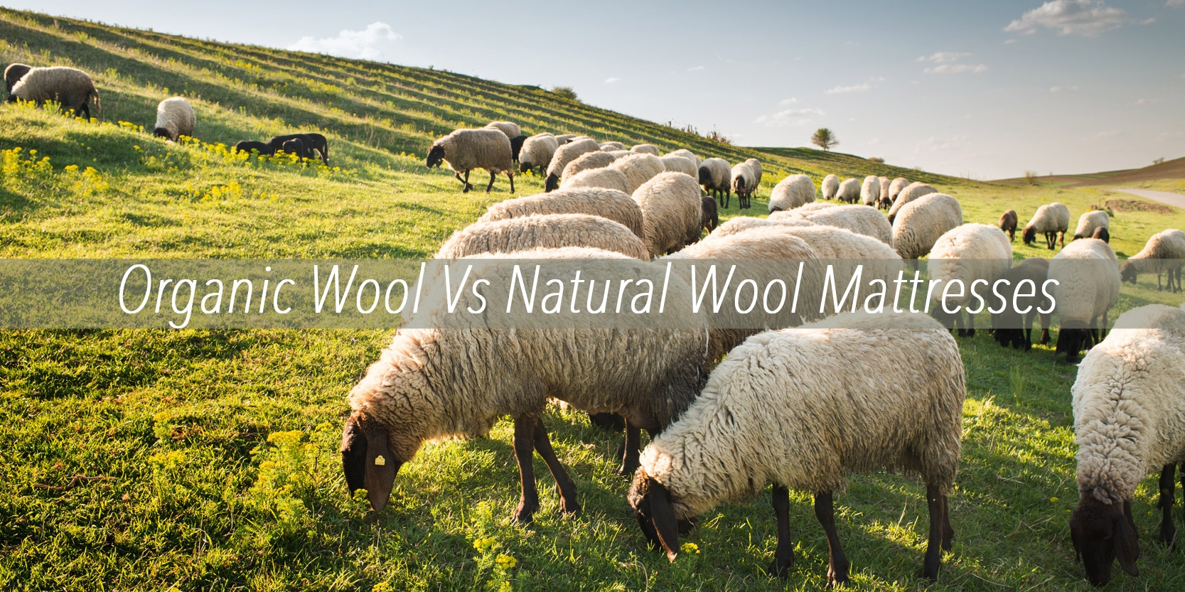 Organic Wool Verses Natural Wool Mattresses