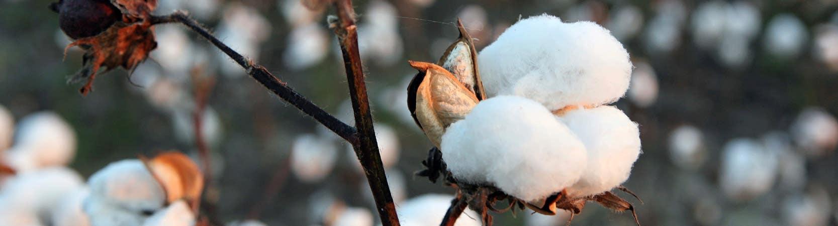cotton mattresses