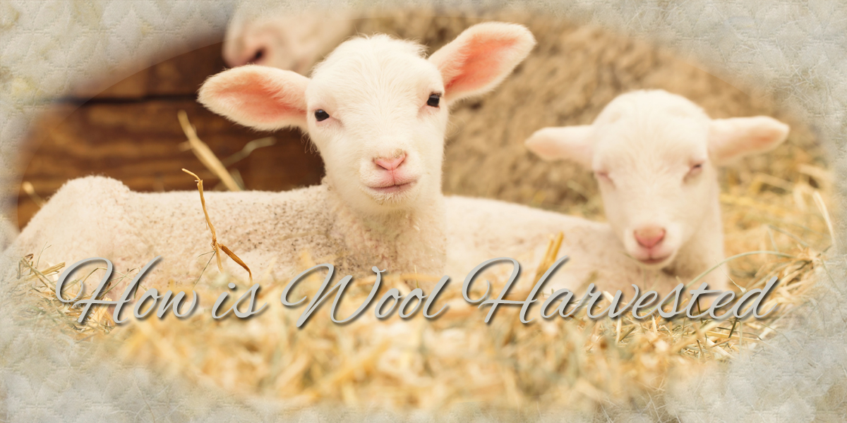 How Wool Is Harvested